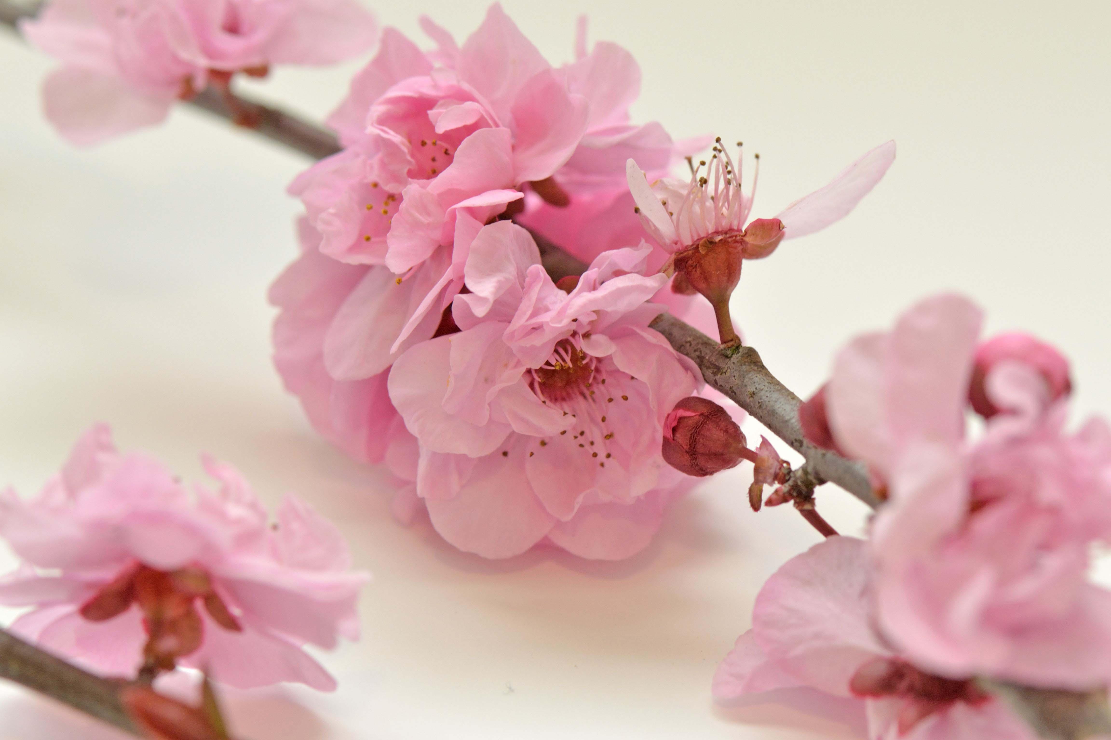 Cherry Blossom 2 Suzie Sweet Tooth