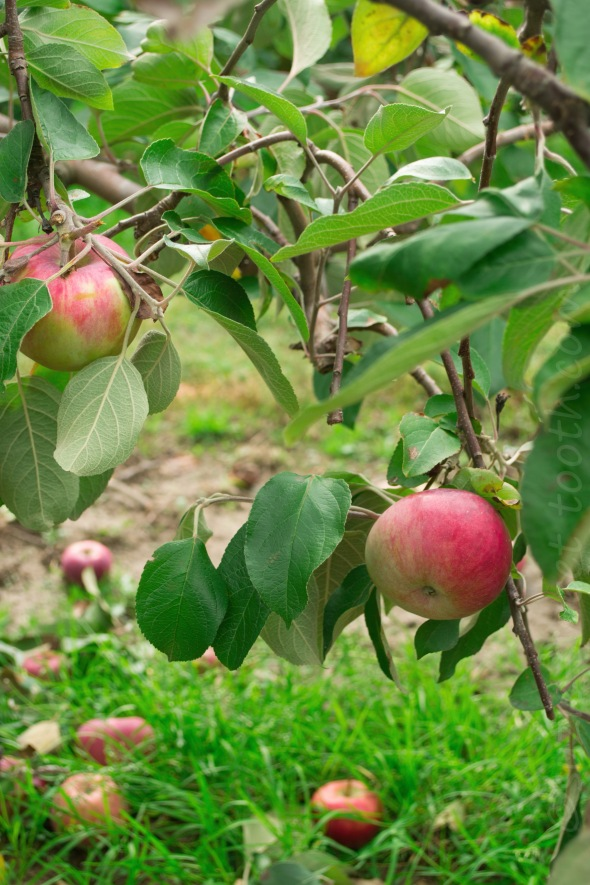 apple tree 2