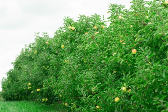 golden apple trees