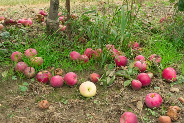 grounded apples 3