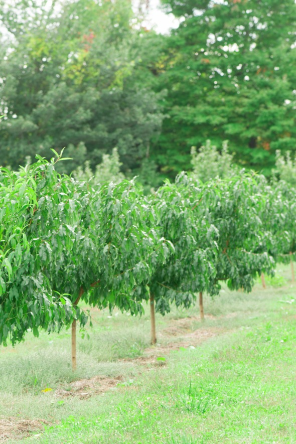 orchard apple trees